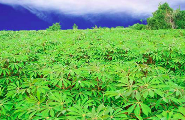 Cassava in a field
