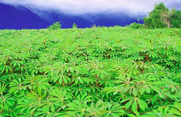 Cassava plantation in Ghana.