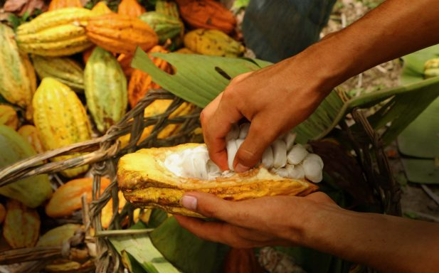 Semi wild cacao carefully handpicked bean by bean to create the To'ak chocolate experience